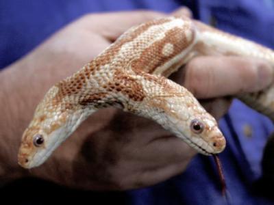 2head snake