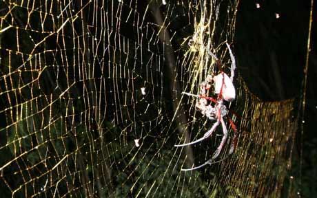 Nephila Komaci The biggest spider in ...